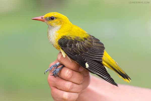 Pirol / Golden Oriole