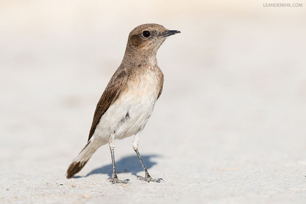 Elstersteinschmätzer / Variable Wheatear (Oenanthe picata ) | For me, a big questiomark hangs over the ID of these wheatears here on the island.. More on this maybe later. Qeshm, Iran, 2016