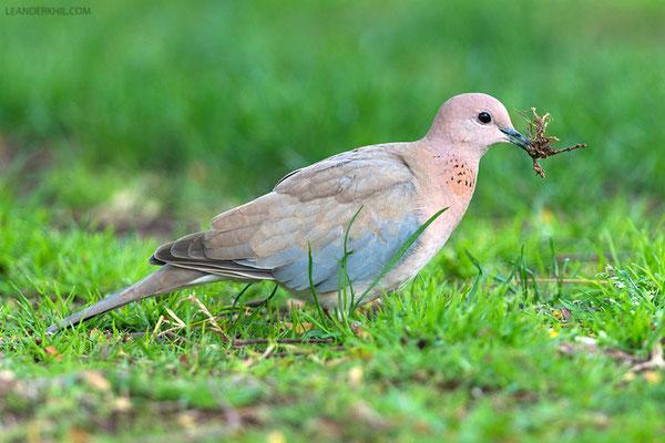 Palmtaube / Laughing Dove (Spilopelia senegalensis) |Zabeel Park, Dubai, February 2016