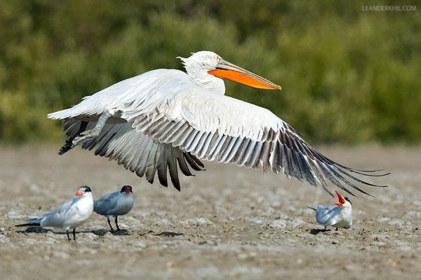 Krauskopfpelikan / Dalmatian Pelican (Pelecanus crispus) | Qeshm/Iran, February 2016