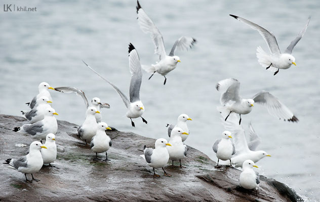 Dreizehenmöwe / Black-legged Kittiwake (Rissa tridactyla) | Vadsø/Norway, June 2015