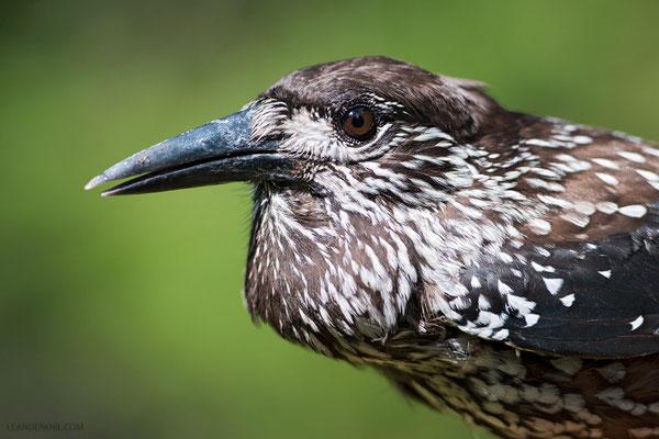Tannenhäher / Nutcracker (Nucifraga caryocatactes) | Portrait of a bird with full throat pouch. Grödner Joch, South Tyrol, August 2015