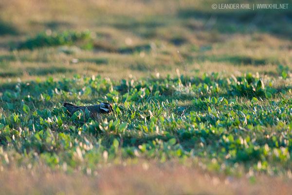 Kiebitz / Northern Lapwing (Vanellus vanellus) | Incubating female. Lange Lacke, 2014