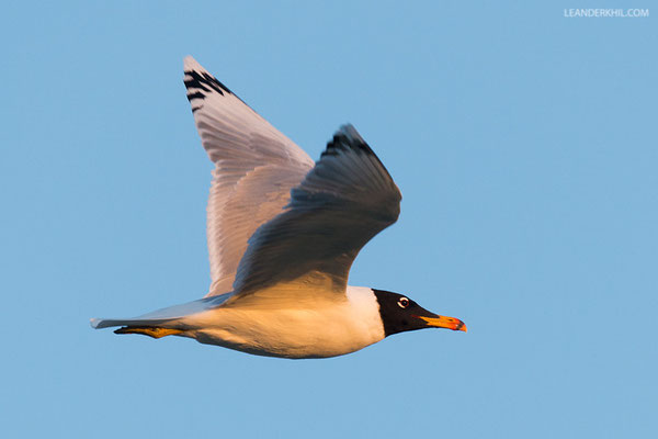 Fischmöwe / Pallas's Gull (Ichthyaetus ichthyaetus) | Adult. Qeshm, Iran, 2016