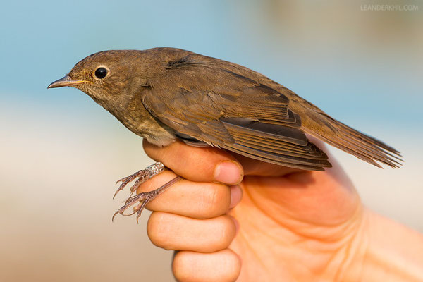 Sprosser / Thrush Nightingale