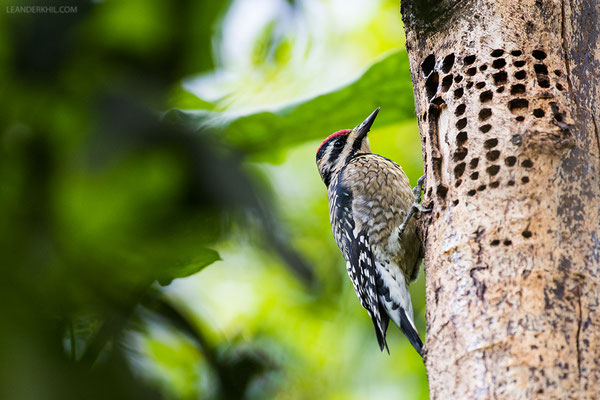 Kaktusspecht / Ladder-backed Woodpecker (Picoides scalaris) | Laguna Chicabal, November 2016