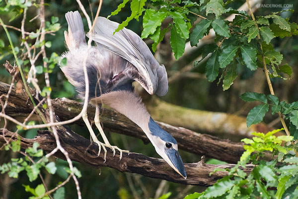 Boat-billed Heron / Kahnschnabel (Cochlearius cochlearius) | Crooked Tree Wildlife Sanctuary/Belize, Februray 2017