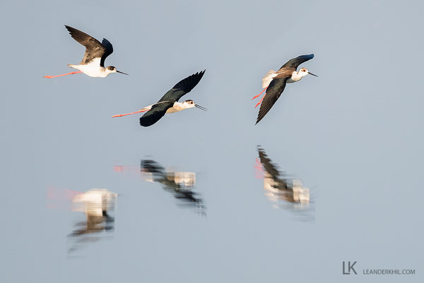 Black-winged Stilt / Stelzenläufer (Himantopus himantopus) | Apetlon, April 2020