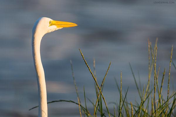 Silberreiher / Great Egret (Egretta alba) | Flores, December 2016