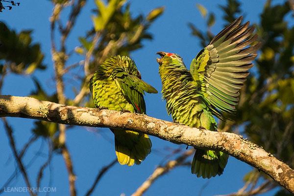 Red-lored parrot / Rotstirnamazone (Amazona autumnalis) | Displaying. Chan Chich lodge, February 2017