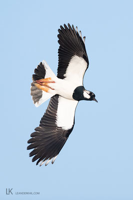 Northern Lapwing / Kiebitz (Vanellus vanellus) | Frauenkirchen, April 2020