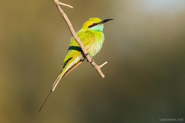 Smaragdspint / Little Green Bee-eater (Merops orientalis beludschicus) | Qeshm, Iran, 2016