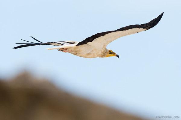 Schmutzgeier / Egyptian Vulture (Neophron percnopterus) |Adult. The abundance of Egyptian Vultures on the island is remarkable. Qeshm/Iran, February 2016