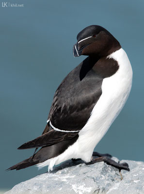 Tordalk / Razorbill (Alca torda) | Hornøya/Norway, June 2015