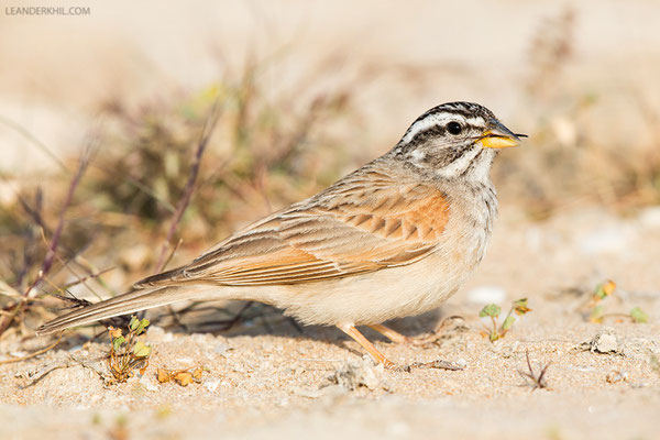 Wüstenammer / Striolated Bunting (Emberiza striolata) | Male. Qeshm, Iran, 2016