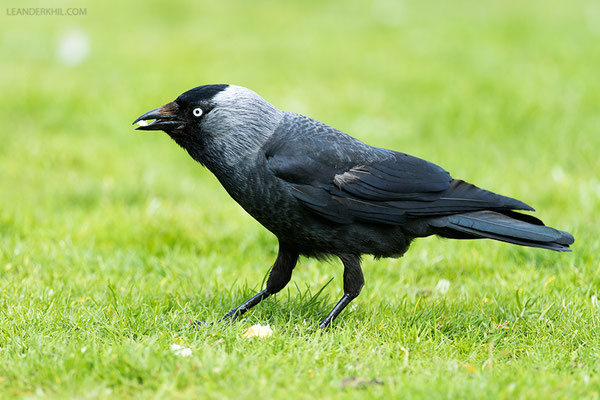 Dohle / Jackdaw (Corvus monedula) | Föhr, Germany, June 2016