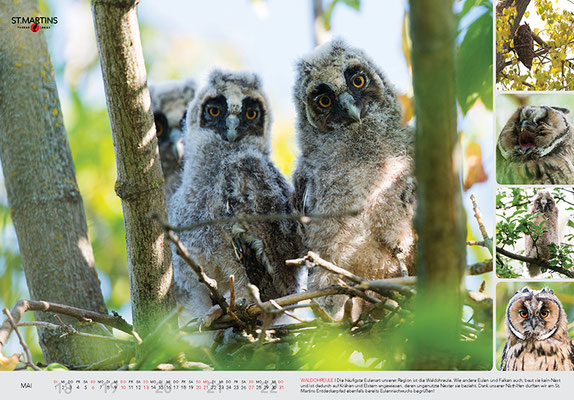 V Waldohreule / Long-eared Owl