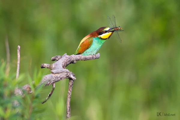 Bee-eater / Bienenfresser, Osli/Hungary