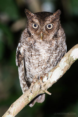 Vermiculated screech owl / Kritzel-Kreischeule (Megascops vermiculatus) | Chan Chich lodge, February 2017