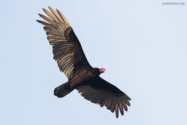 Turkey Vulture / Truthahngeier (Cathartes aura) | Crooked Tree Wildlife Sanctuary/Belize, Februray 2017