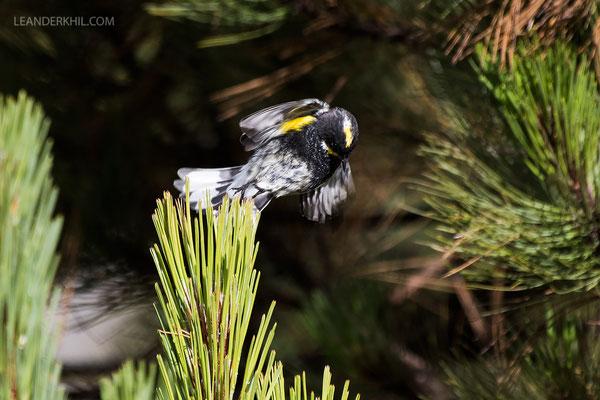 Goldman's Warbler (Setophaga coronata goldmani) | Male. Sierra de los Cuchumatanes, Guatemala. August 2018