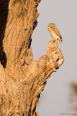 Bramakauz / Spotted Owlet (Athene brama) | Qeshm, Iran, 2016