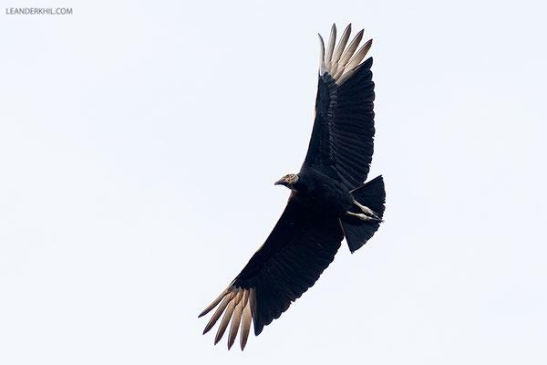 Black Vulture / Rabengeier (Coragyps atratus) | Crooked Tree Wildlife Sanctuary/Belize, Februray 2017