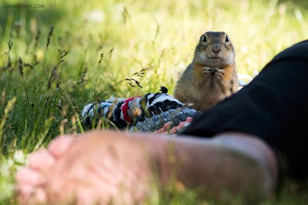 Ziesel / European Ground Squirrel (Spermophilus citellus) | Seewinkel, April 2016