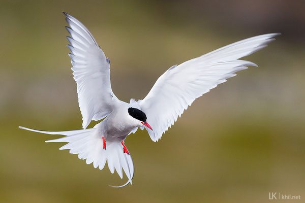 Küstenseeschwalbe / Arctic Tern (Sterna paradisaea) | Ekkerøy/Norway, June 2015