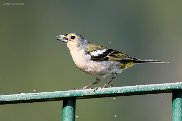 Chaffinch / Buchfink (Fringilla coelebs maderensis) | Fajã da Nogueira, Madeira