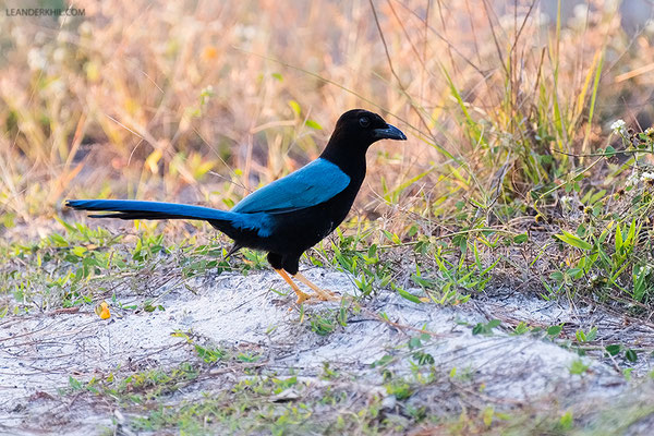 Yucatan Jay / Yucatan Blaurabe (Cyanocorax yucatanicus) | Crooked Tree Wildlife Sanctuary/Belize, Februray 2017