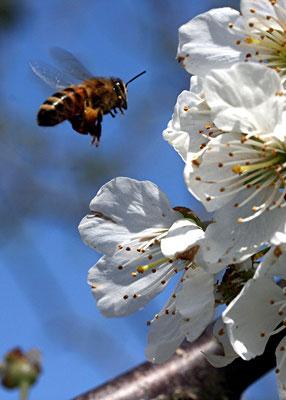 Biene mit Pollen im Flug