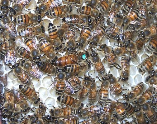 Königin mit ihren Pflegebienen