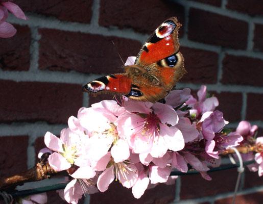 15.4.2018 Die Nektarine wird vor allem von Hummeln, Wildbienen und Schmetterlingen bestäubt.