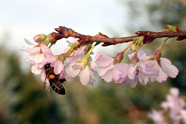 Biene mit Pollenhöschen auf Kirschblüte