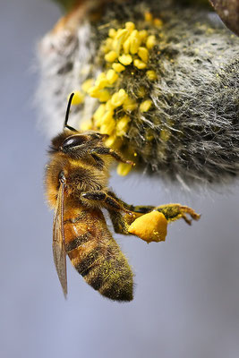 Foto: Honey Bee von Charlie Jackson - Flickr Commons (Creative Commons Licence Version 4.0)