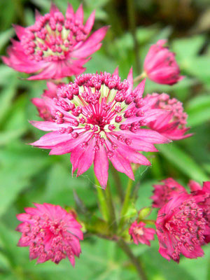 Astrantia 401 von Manu - Flickr Commons (Creative Commons Licence Version 4.0)