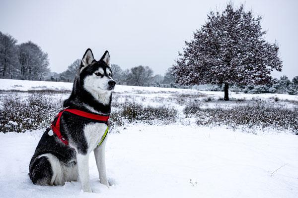 Husky im Schnee Wacholderhein Haselünne