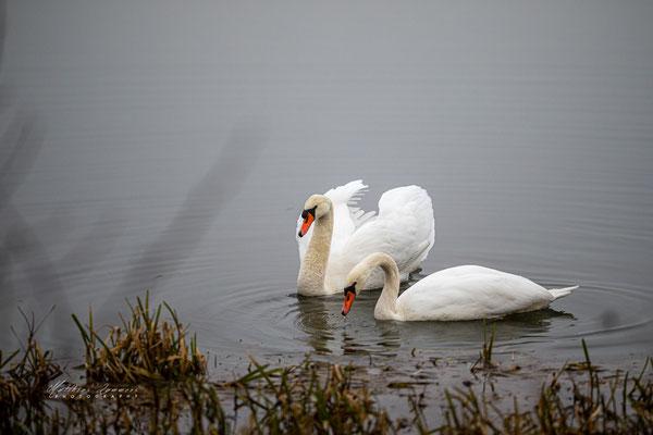 Schwäne am Haselünner See