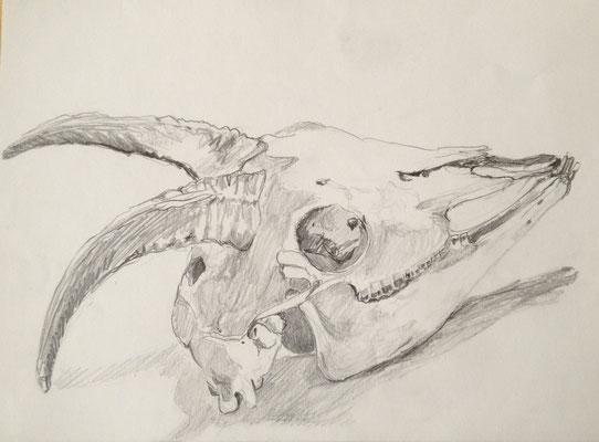 Ziegenschädel, 2004, Bleistift