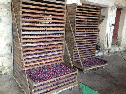 Récolte de la production des  pruneaux du Château de Boisverdun en Lot-et-Garonne