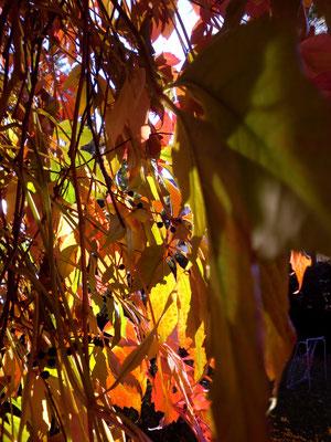 Weinblätter rot Fassade hochwachsen Herbst CVJM Bayreuth nervenkeks