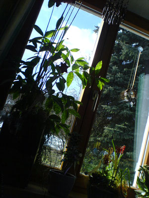 Zimmerpflanzen Frühling nervenkeks
