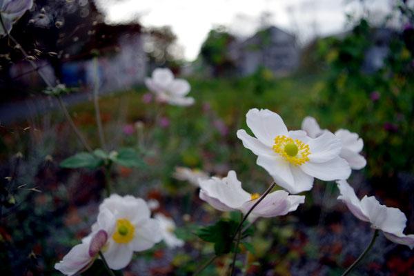 Gießen Landesgartenschau Gelände weiß Blüte Blume Herbst