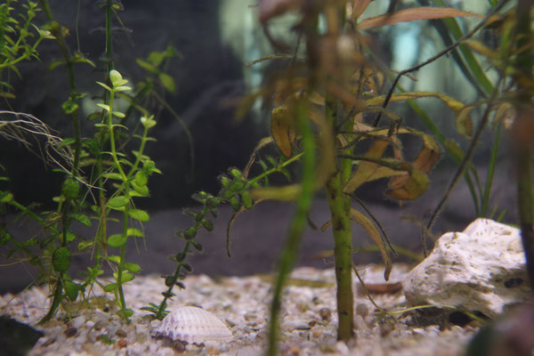 Aquarium Pflanzen Korallensteine Muschel fotografie nervenkeks Kies