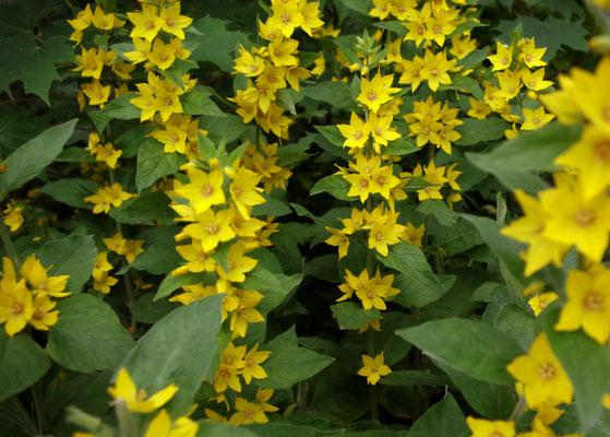 Gilbweiderich gelb grün Schwanenteich Teich Blume Blüte Blüten Blätter Natur Pflanze Ufer Nachmittag Spaziergang Fotografie Foto Fotos fotografieren spazieren gehen bewölkt Sommer Gießen