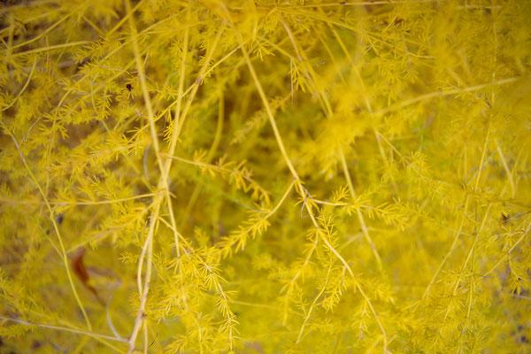 gelb stachlig Strauch Pflanze Gießen Landesgartenschau Gelände Herbst