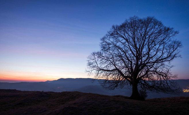 Baum Silhouete zur Blauenstunde; Ruine Limburg