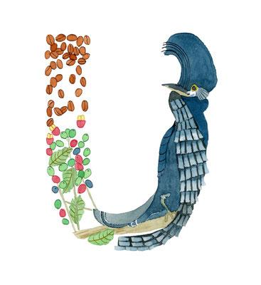 アニマルアルファベット「Umbrellabird」:水彩