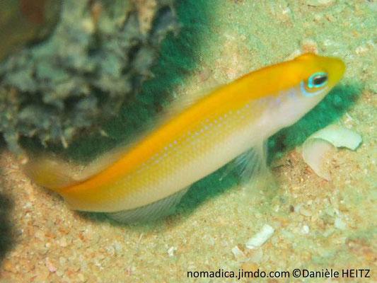 Pseudochromis flavivertex , femelle